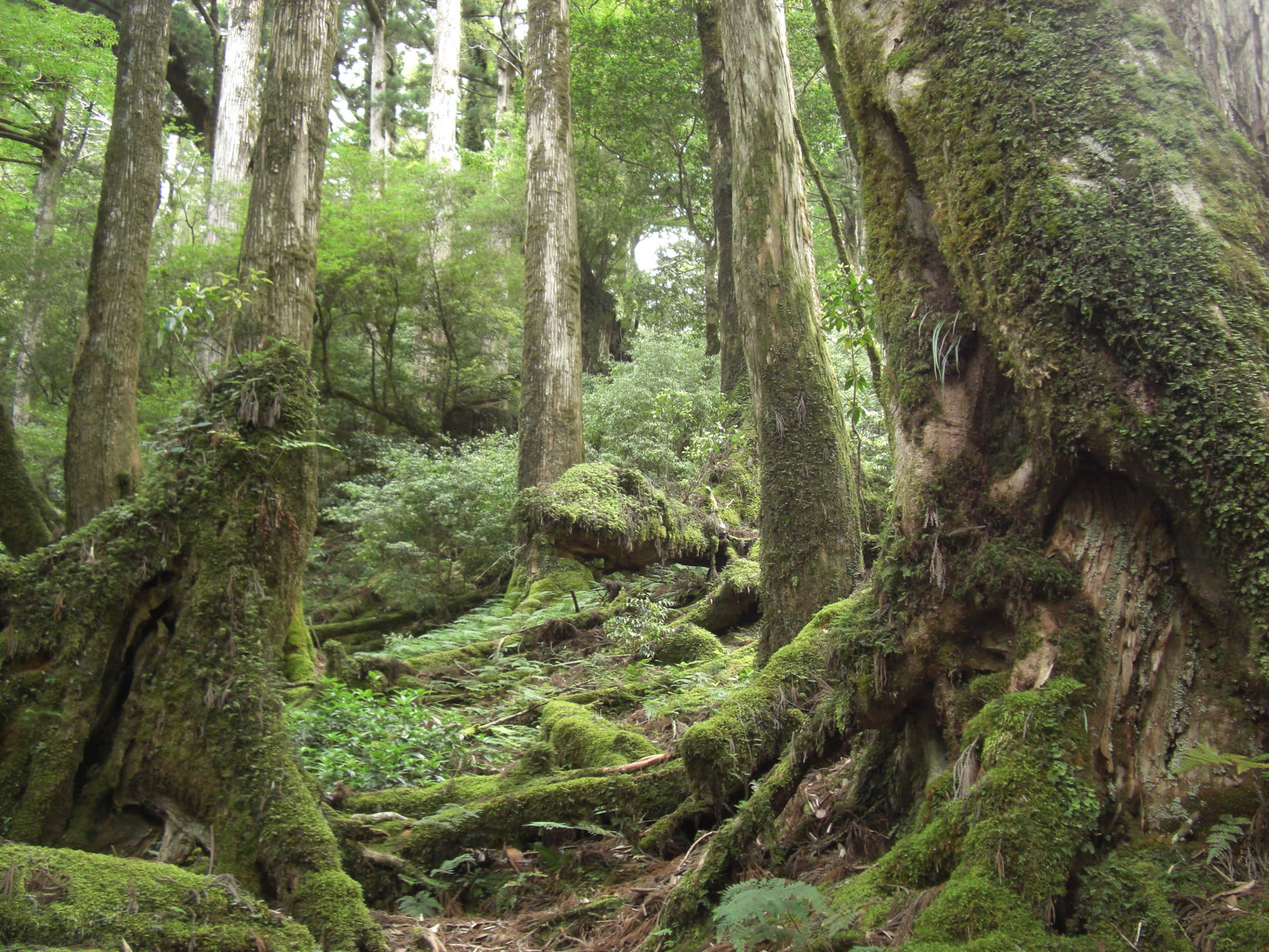 Sweating our way up mountains to hang with the Ents of Yakushima