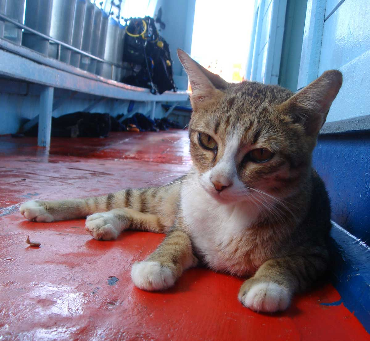 A Mama Cat with 4 kittens lived on the dive school boat in Koh Tao, making everyone smile. ダイブショップのボートに住む船乗り猫一家はダイバーたちの人気の的。