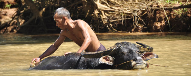 Just about everything happens in the water, around the Inle Lake region..  ミャンマー・インレー湖から伸びる水路で水浴びする水牛。ここでは生活のすべてが水と共にある。