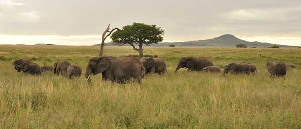 One of innumerable herds of elephants encountered on our Serengeti Safari (including our campsite)...