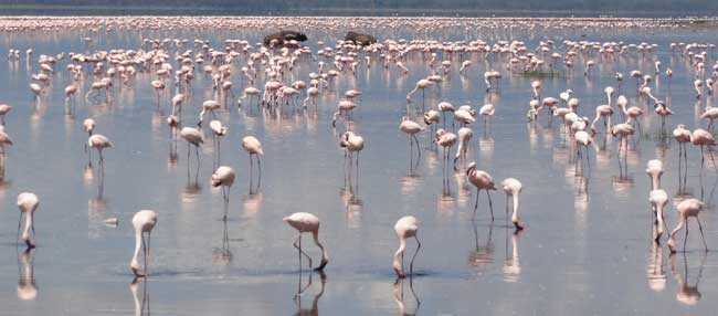Millions of pink flamingo's blanket the lake, amongst grazing Rhino's, Buffalo & Zebra in Lake Nakuru National Park.