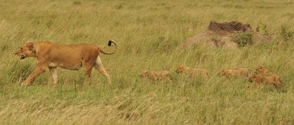We came across a pride of more than 20 lions feeding on a buffalo. The cubs just kept appearing!