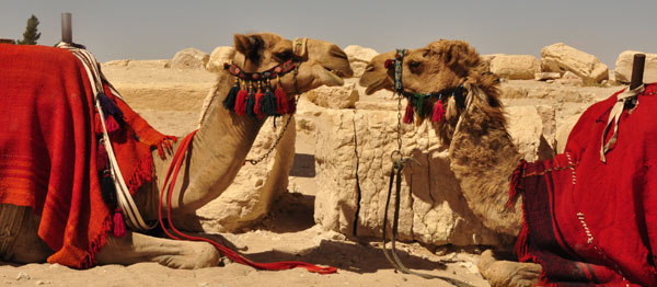 Lovers, brothers or just intense non-verbal communication? Camels awaiting riders in the ruins of Palmyra. The once great Aramaic city, centre of trading on the silk road in Syria and key stop on the road to Baghdad.
