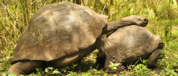 Gives a whole new meaning to 'getting a leg over'. We were lucky enough to come across this encounter wandering around a tortoise reserve. Apparently the male (top) tries to pin the female (much smaller) with his neck first, so that he can then climb on top and pin her for the deed. Meanwhile, she is trying to run (tortoise speed) to the nearest tree which she will use to protect herself (him being to large to maneuver). Mating like this takes several hours, but we gave up after 20 minutes. Really didn't know who to go for here either!
