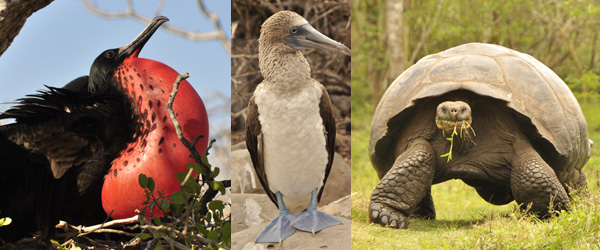 Every island in the Galapagos has a unique assortment of wildlife, but these guys were probably my favourites. The mating dance of the frigate bird is quite spectacular as he blows up his chest into a giant bubble and waves it around. The blue footed boobie is just visually odd (there is a red footed one on another island) and of course you can't beat the giant tortoises, like mini elephant caravans - some are close to 2m long and live to 200 years old.