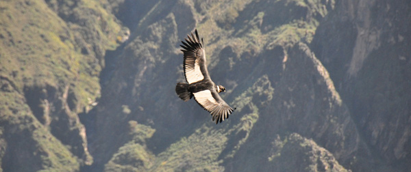 The rare great Andean condor - the largest bird in the world and highly endangered. The Colca Valley is one of the few places where you can almost always see condors. We saw 6 while we were there, several juveniles and this fine adult, gliding up the steep cliff-faces, playing with the air currents in the morning sun.
